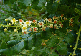Could frankincense provide a cure for cancer?  Photo A Boswellia tree Wikipedia/Scott Zona
