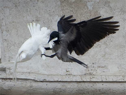 Crow attacks a dove released by the Pope on January 26, 2014 as part of a prayer for peace.