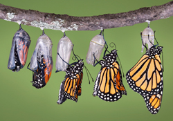 A Christian's metamorphosis takes place as their mind is renewed.