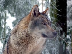 Northern wolf Wikipedia/Gunnar Ries (Amphilbol)
