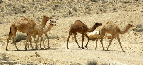 A herd of Dromedary -- , single humped camels -- in Negev, Israel. Photo Wikipedia/wilson44691