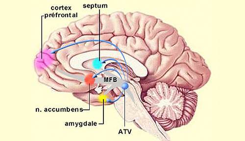 Areas of brain affected by marijuana usage. Image Wikipedia/lecerveau.mcgill.ca