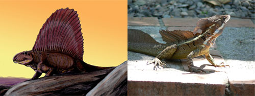 Did a Dimetrondon dinosaur turn into a basilisk lizard? Images: Basilisk Wikipedia/The Rambling Man and an artist's rendering of a Dimetrondon Wikipedia/Dmitry Bogdanov