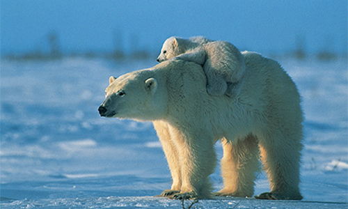 Polar Bear ride Image: beingmyself/foter/CC BY-ND