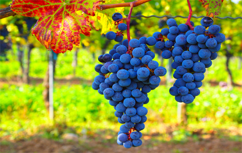 Grapes of welfare Photo: Roberto Vertzo/Foter/CC BY