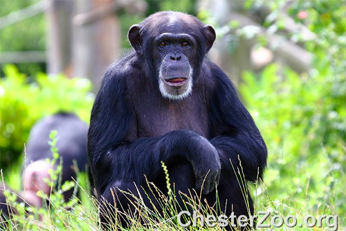 A new species of humans discovered at the zoo? Photo: Chester Zoo/Fote/CC BY-ND