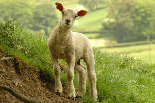 Lamb Photo: A Roger Davies/Foter/CC BY