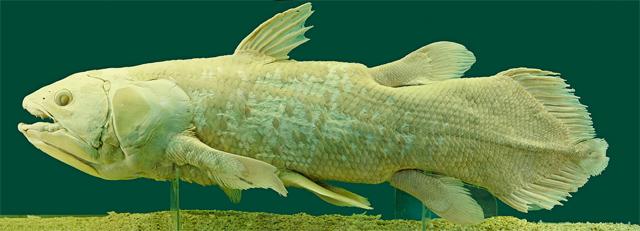 Coelacanth a living dinosaur: Wikipedia/Alberto Fernandez