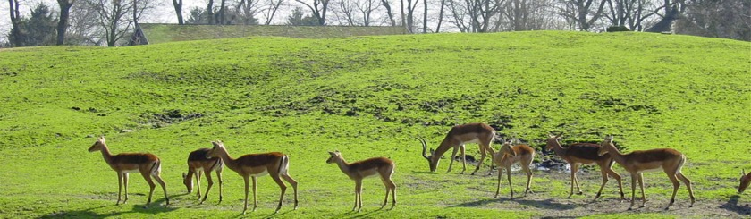 Impalas in a Dutch Zoo. Photo: Peter Maas/Wikipedia