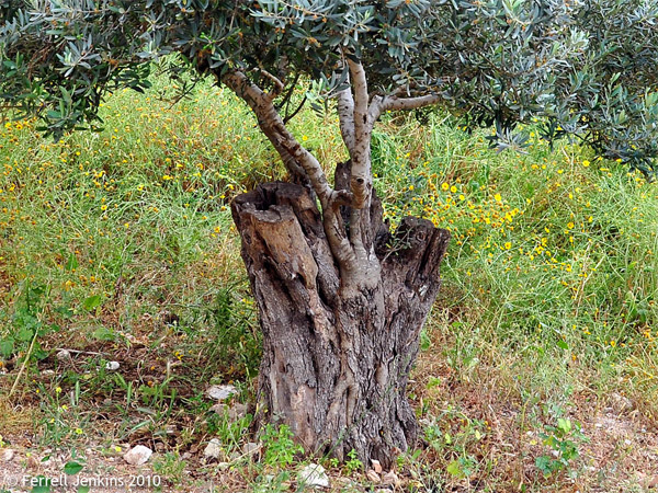 Photo of wild olive branches grafted into the trunk of a tame olive tree in the village of Nazaeth. Photo: ferrelljenkins-wordpress-com