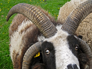 The unique four horns of Jacob's rams. Photo: ellenm1/Flickr/Creative Commons