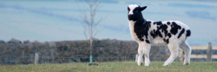 One of Jacob's lambs in England. Photo: Paul Blakeman/Flickr/Creative Commons