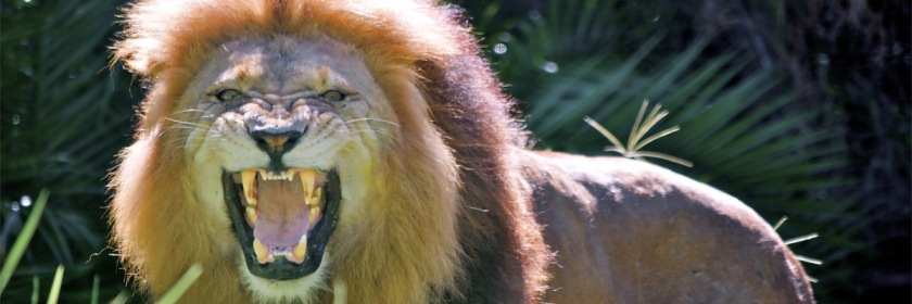 Beware the roaring lion. Credit: chris jd/Flickr/Creative Commons