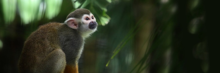 South American Squirrel monkey Credit: cuatrok77/Flickr/Creative Commons