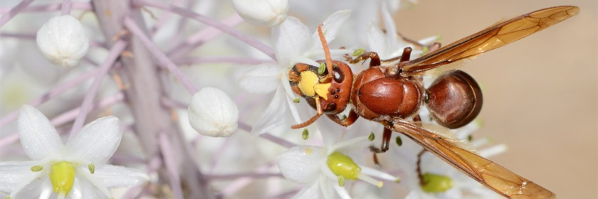 Oriental Hornet from Israel Credit: Gideon Pisanty/Wikipedia/Creative Commons