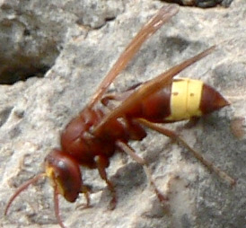 The brown area of the Oriental Hornet collects and traps the sun's light and the yellow area turns it into electricity. Credit: Kreta/Wikipedia/Creative Commons