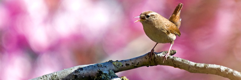 Eurasian Wren singing (you can hear their song at the end of the article) Credit: Pieter van Marion/Flickr/Creative Commons