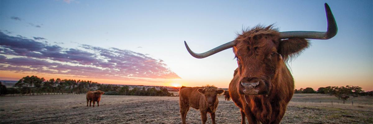 Mens Cotton Pocket Square - Scottish cow 4 by VIDA VIDA qCrju1