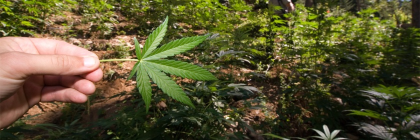 Marijuana being illegally grown in North Cascades National Park in the US. Credit: Park Ranger/Flickr/Creative Commons