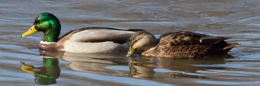 Mallard ducks Credit: Laura Gooch/Flickr/Creative Commons