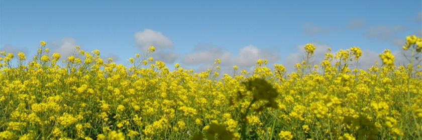 Mustard Credit: yaxchibonam/Flickr/Creative Commons