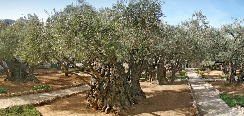 Considered to be the location of the Garden Gethsemane located at the foot of Mount Olives in Jerusalem where Jesus sweated blood Credit: tango7174/Wikipedia