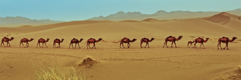 Camels crossing a desert in Iran Credit: my life, the Universe and everything/Flickr