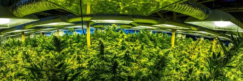 Marijuana Credit: Alex B/Flickr/Creative Commons