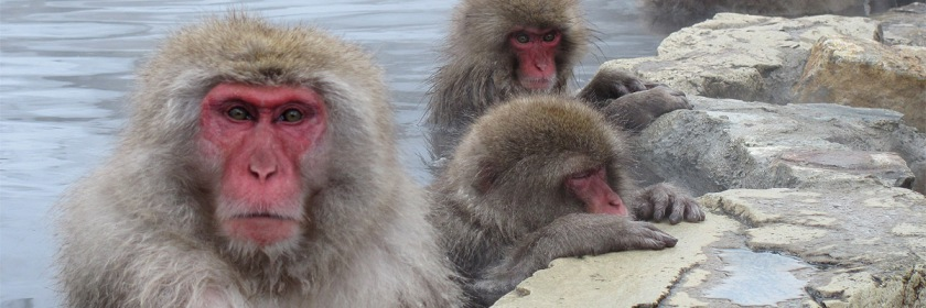 Snow monkeys Credit: John Barton/Flickr/Creative Commons