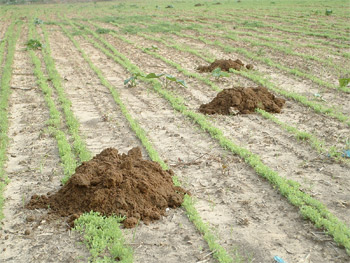 Dirt mounds left by Palestinian burrowing mole rats source: Rick J. Pelleg/Wikipedia/Creative Commons