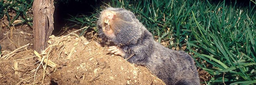 A blind Palestine Burrowing Mole Rat Credit: bassem18/Wikipedia