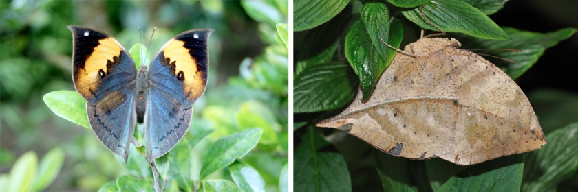 The Dead Leaf butterfly with its colorful wing display that perfectly mimics a dead leaf when closed. Credit: Left image Public Domain/Right image quartl/Wikipedia/Creative Commons