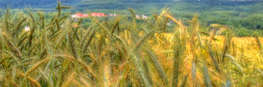 A crop close to harvest near Lohbusch, North Rhine-Westphalia, Germany Credit: Christian Kortum/Flickr/Creative Commons