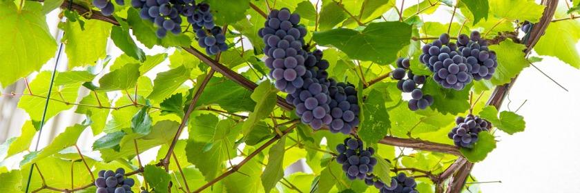 Vineyard in Soragna, Italy Credit: Andreas Metz/Flickr/Creative Commons