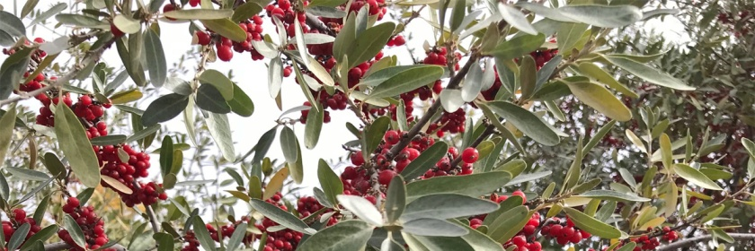 The bush displaying its leaves and berries late in the fall while we were on our prayer walk,