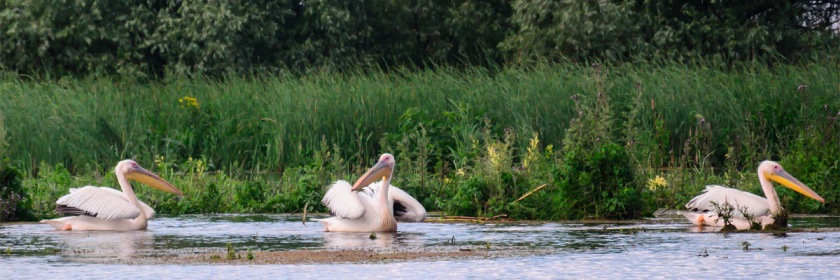 Great White Pelicans: Credit: Costel Slincu/Flickr/Creative Commons