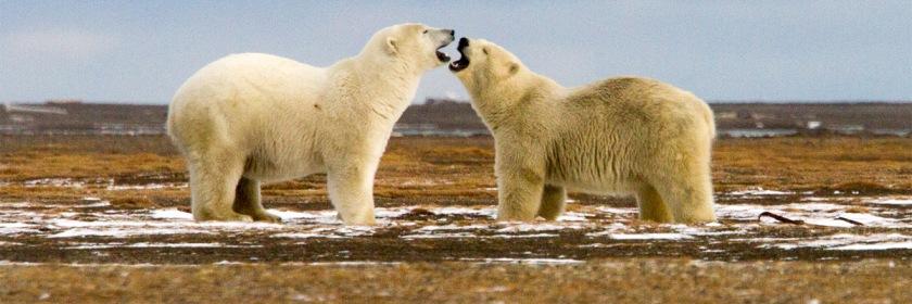 Photo of Polar bears on Barter Island, in the Beaufort Sea, near Alaska. Credit: Arthur T. Labar/Flickr/Creative Commons