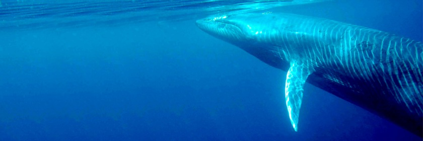 Byrde's whale off the coast of Thailand Credit: morningdew/Wikipedia/Creative Commons