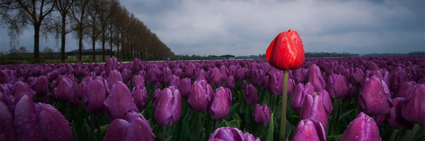 Dutch tulip field Credit: Cor van der Waal/Flickr/Creative Commons / www.fotografiecor.nl