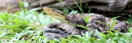 Ferdelance Pit Viper